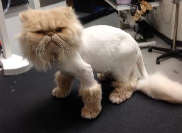 Lion shave
